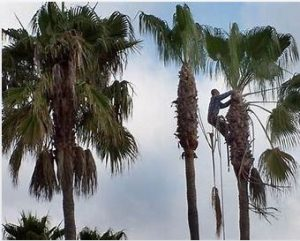 #1 Palm Tree Removal Melbourne